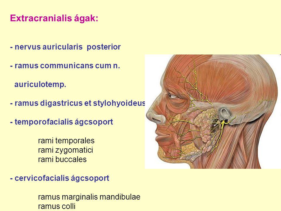 Extracranialis ágak: - nervus auricularis posterior - ramus communicans cum n. auriculotemp. - ramus digastricus et stylohyoideus - temporofacialis ág