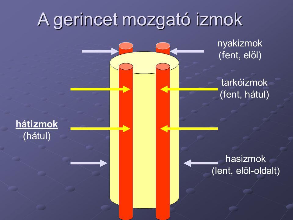 hátizmok (hátul) nyakizmok (fent, elöl) hasizmok (lent, elöl-oldalt) A gerincet mozgató izmok tarkóizmok (fent, hátul)