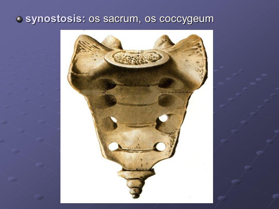 synostosis: os sacrum, os coccygeum