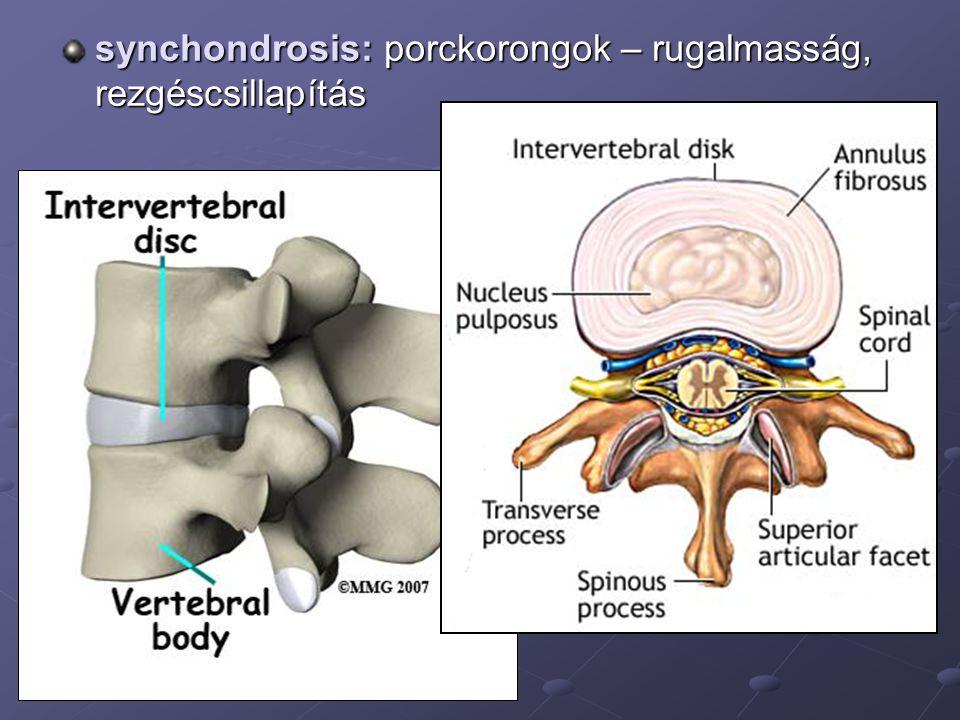 A gerinc egészben primer: thoracalis, sacralis kyphosis fej emelése: cervicalis lordosis ülés, állás: lumbalis lordosis