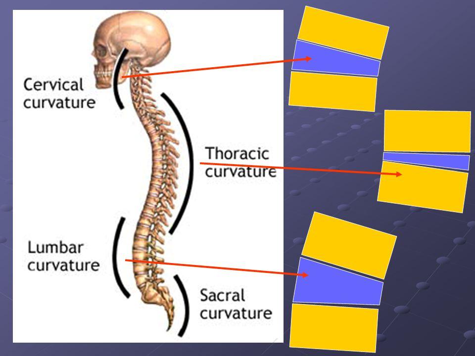 A gerinc mozgásai Két csigolya között az elmozdulás csekély, de a sok kisizület elmozdulásai összeadódnak, így a gerinc kitérései már jelentősek.