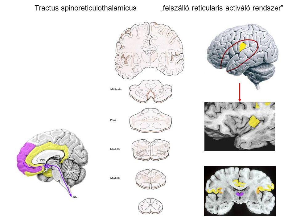 """Tractus spinoreticulothalamicus """"felszálló reticularis activáló rendszer"""""""