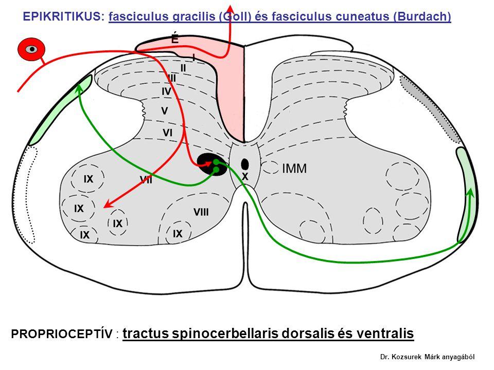 PROPRIOCEPTÍV : tractus spinocerbellaris dorsalis és ventralis EPIKRITIKUS: fasciculus gracilis (Goll) és fasciculus cuneatus (Burdach) É Dr. Kozsurek
