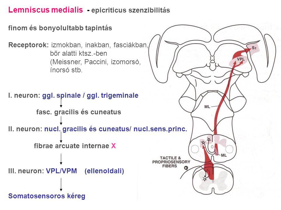 Lemniscus medialis - epicriticus szenzibilitás finom és bonyolultabb tapintás Receptorok: izmokban, inakban, fasciákban, bőr alatti ktsz.-ben (Meissne
