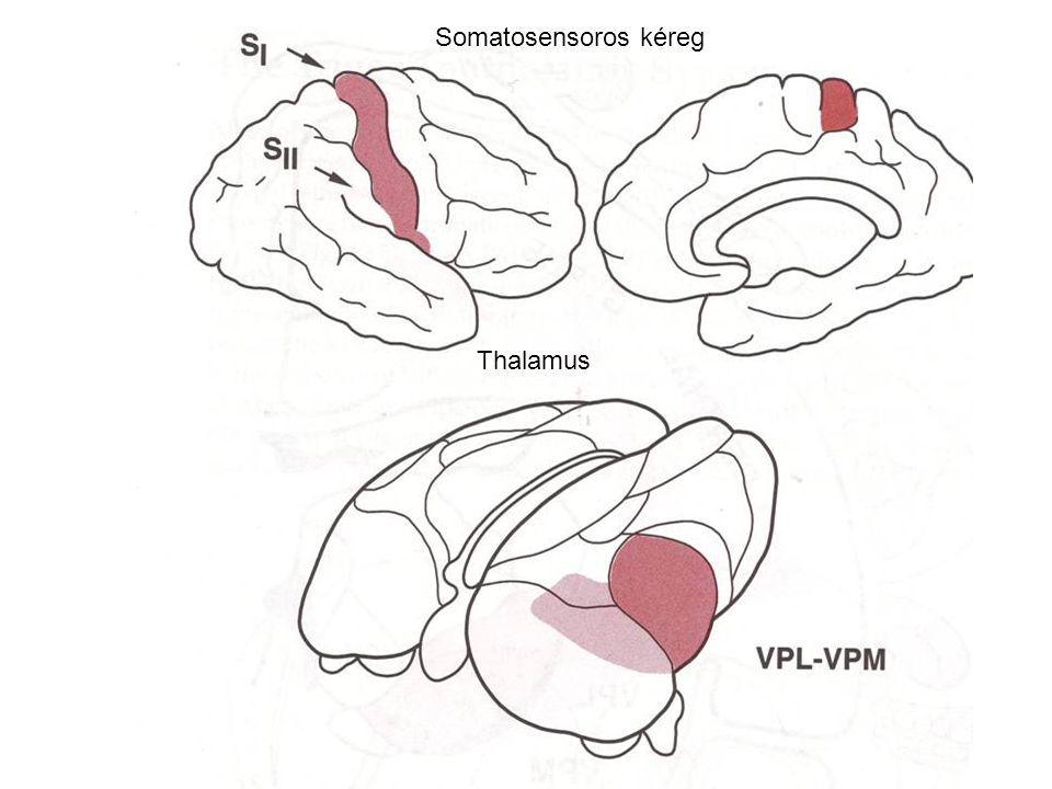 Somatosensoros kéreg Thalamus