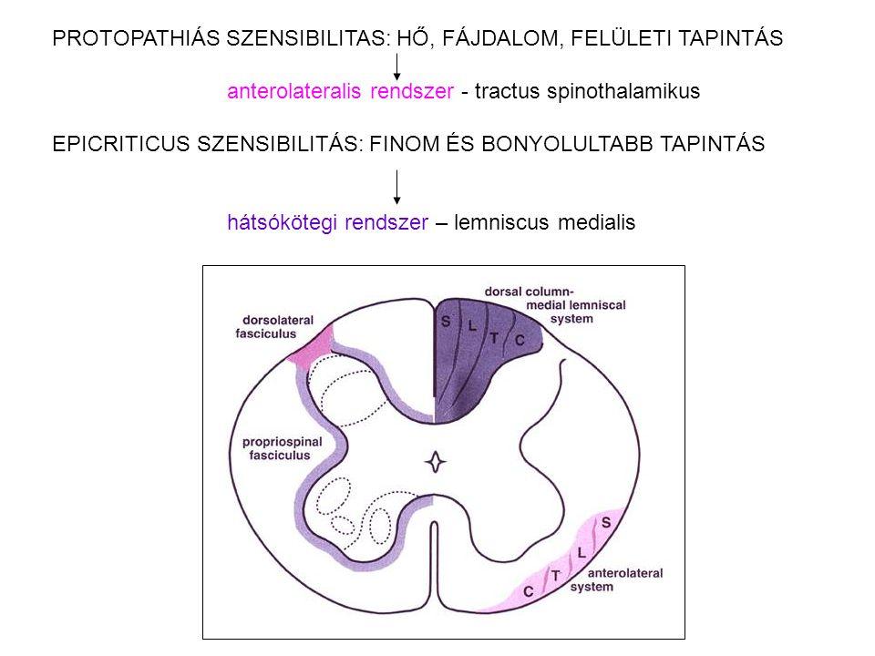PROTOPATHIÁS SZENSIBILITAS: HŐ, FÁJDALOM, FELÜLETI TAPINTÁS anterolateralis rendszer - tractus spinothalamikus EPICRITICUS SZENSIBILITÁS: FINOM ÉS BON