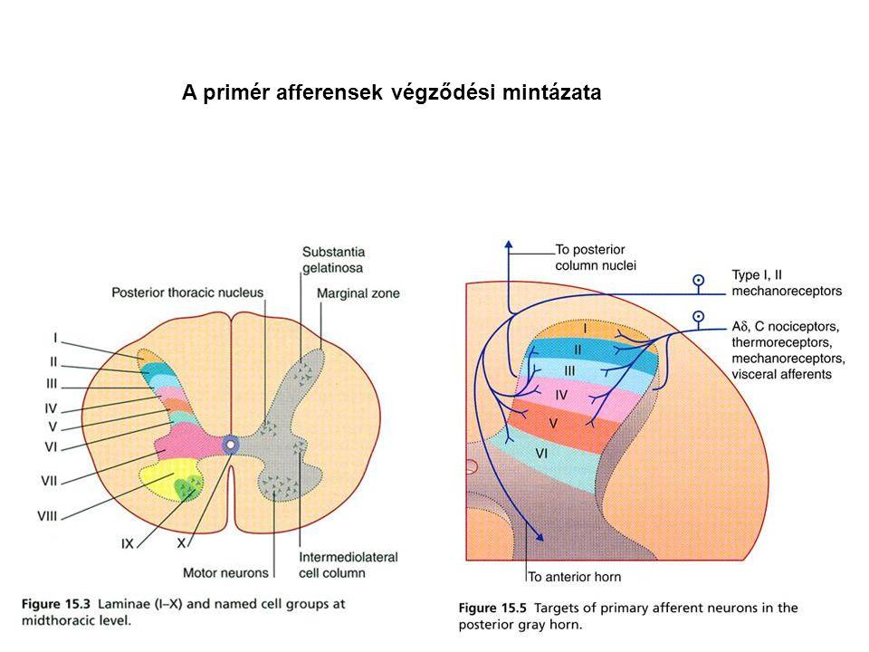 A primér afferensek végződési mintázata