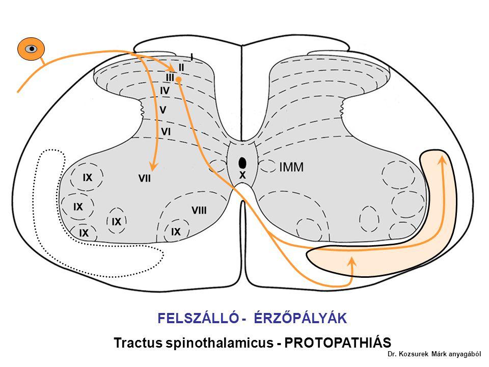 FELSZÁLLÓ - ÉRZŐPÁLYÁK Tractus spinothalamicus - PROTOPATHIÁS Dr. Kozsurek Márk anyagából