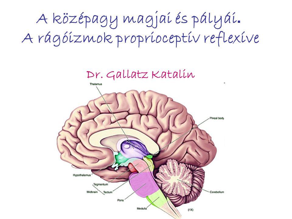 A középagy magjai és pályái. A rágóizmok proprioceptív reflexíve Dr. Gallatz Katalin