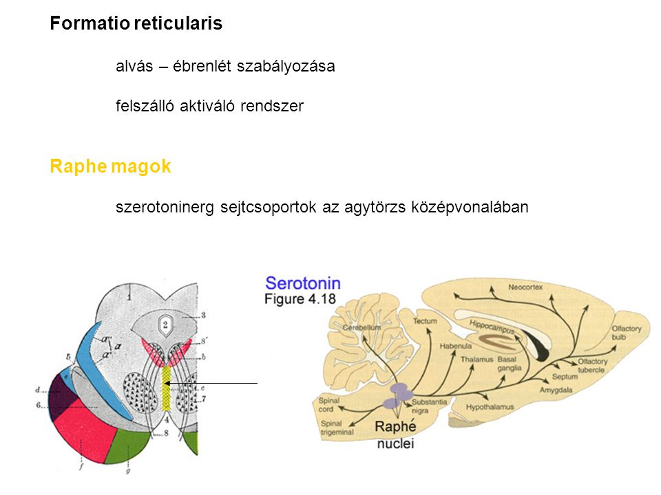 Formatio reticularis alvás – ébrenlét szabályozása felszálló aktiváló rendszer Raphe magok szerotoninerg sejtcsoportok az agytörzs középvonalában
