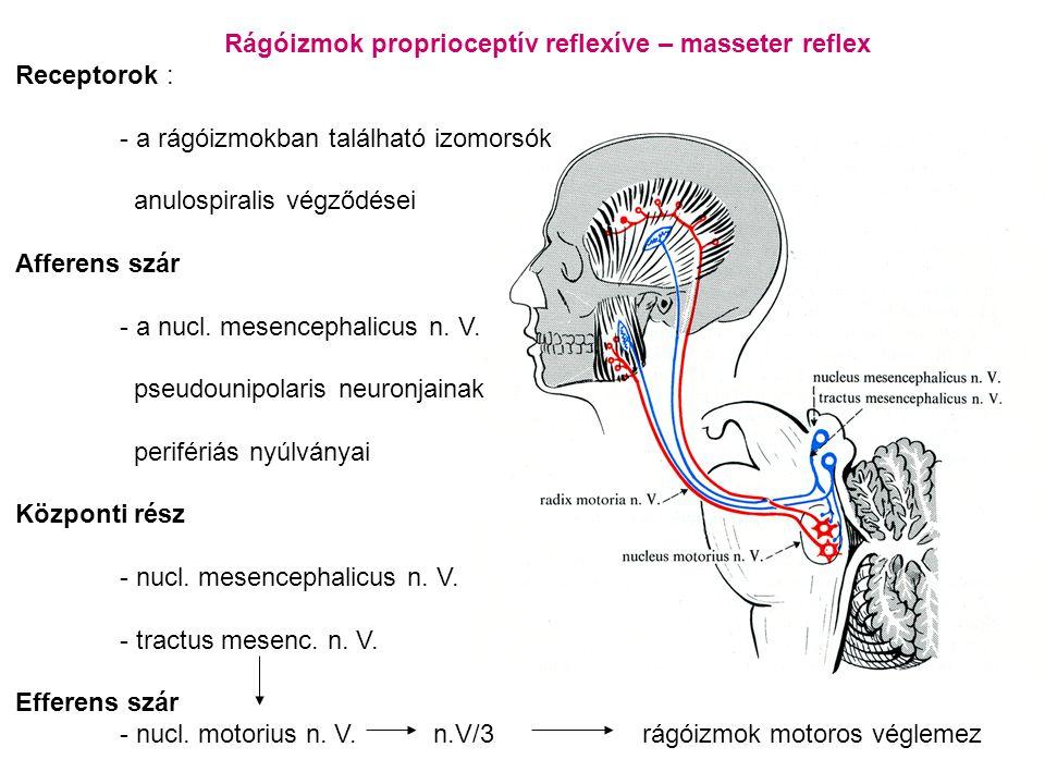 Rágóizmok proprioceptív reflexíve – masseter reflex Receptorok : - a rágóizmokban található izomorsók anulospiralis végződései Afferens szár - a nucl.