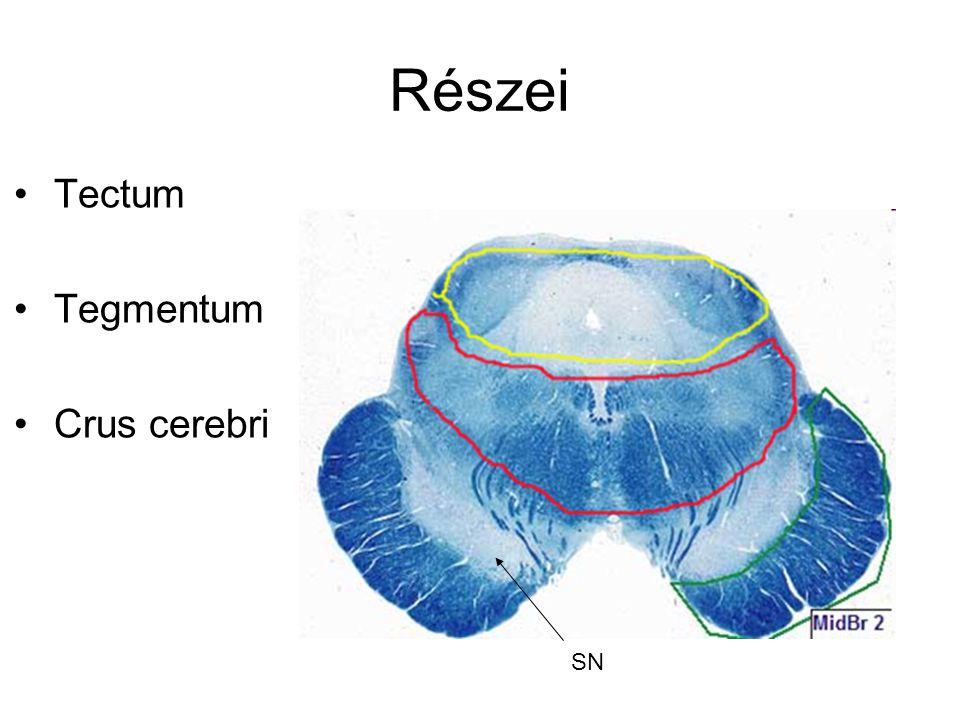 Részei Tectum Tegmentum Crus cerebri SN