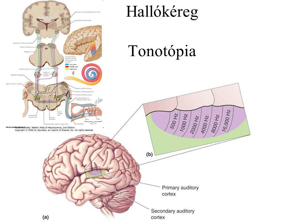 Tonotópia a cochlearis magokban - magas hangok által keltett ingerületet közvetítő rostok a magokban medialisan végz.
