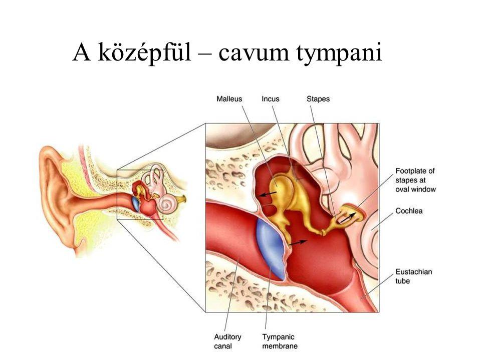 Components of the Middle Ear A középfül – cavum tympani