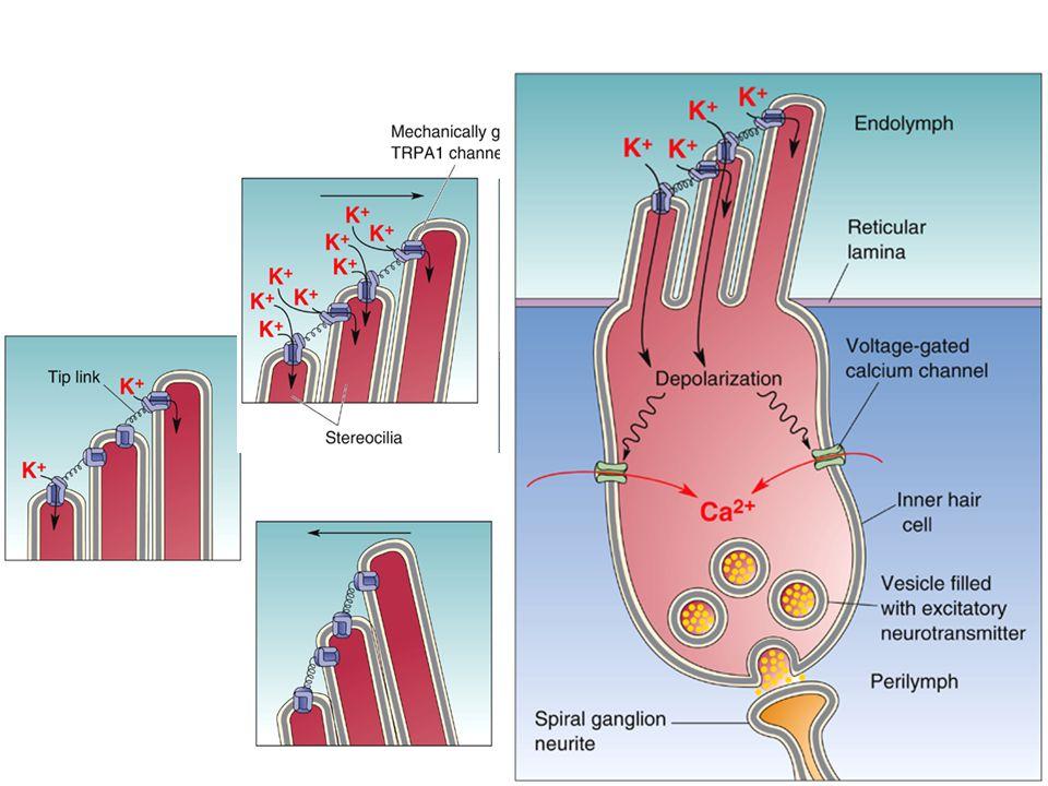 A szőrsejtek ingere a stereociliumok megdőlése A szőrsejtek stereociliumainak megdőlése mechanoszenzitív K-csatornákat nyit meg, káliumbeáramlásdepolarizáció feszültségfüggő Ca-csatornák megnyílása Ca beáramlás transzmitter felszabadulás (belső sz.s.)/ megrövidülés (külső szőrsejtek)