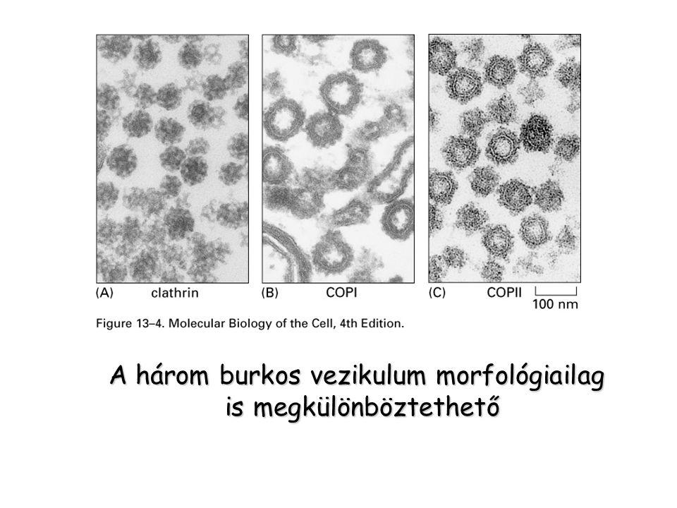 A három burkos vezikulum morfológiailag is megkülönböztethető