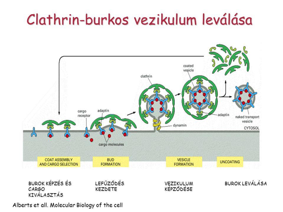 Alberts et all. Molecular Biology of the cell BUROK KÉPZÉS ÉS CARGO KIVÁLASZTÁS LEFŰZŐDÉS KEZDETE VEZIKULUM KÉPZŐDÉSE BUROK LEVÁLÁSA Clathrin-burkos v