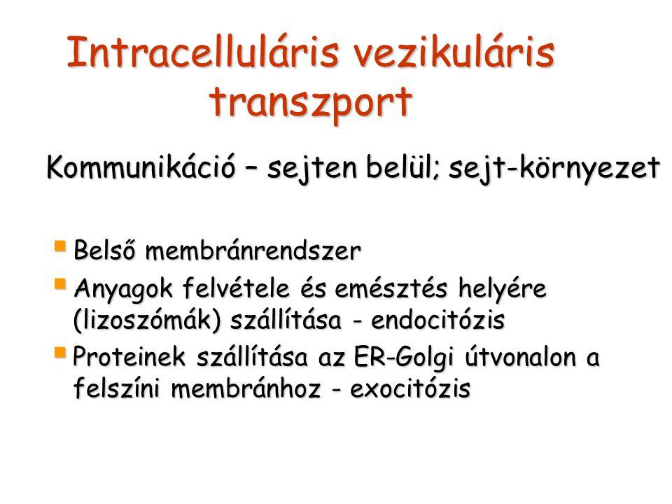 Intracelluláris vezikuláris transzport Kommunikáció – sejten belül; sejt-környezet Kommunikáció – sejten belül; sejt-környezet  Belső membránrendszer