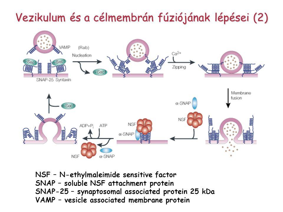 Vezikulum és a célmembrán fúziójának lépései (2) NSF – N-ethylmaleimide sensitive factor SNAP – soluble NSF attachment protein SNAP-25 – synaptosomal associated protein 25 kDa VAMP – vesicle associated membrane protein