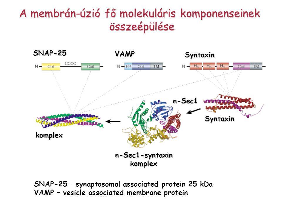 A membrán-úzió fő molekuláris komponenseinek összeépülése SNAP-25 – synaptosomal associated protein 25 kDa VAMP – vesicle associated membrane proteinS