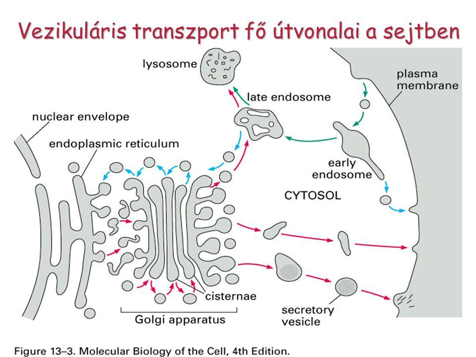 Vezikuláris transzport fő útvonalai a sejtben