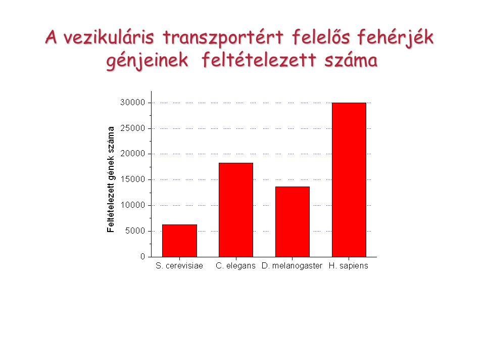 A vezikuláris transzportért felelős fehérjék génjeinek feltételezett száma génjeinek feltételezett száma