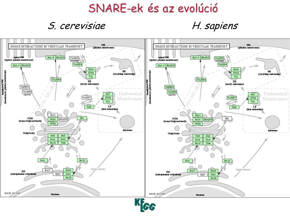 SNARE-ek és az evolúció S. cerevisiaeH. sapiens