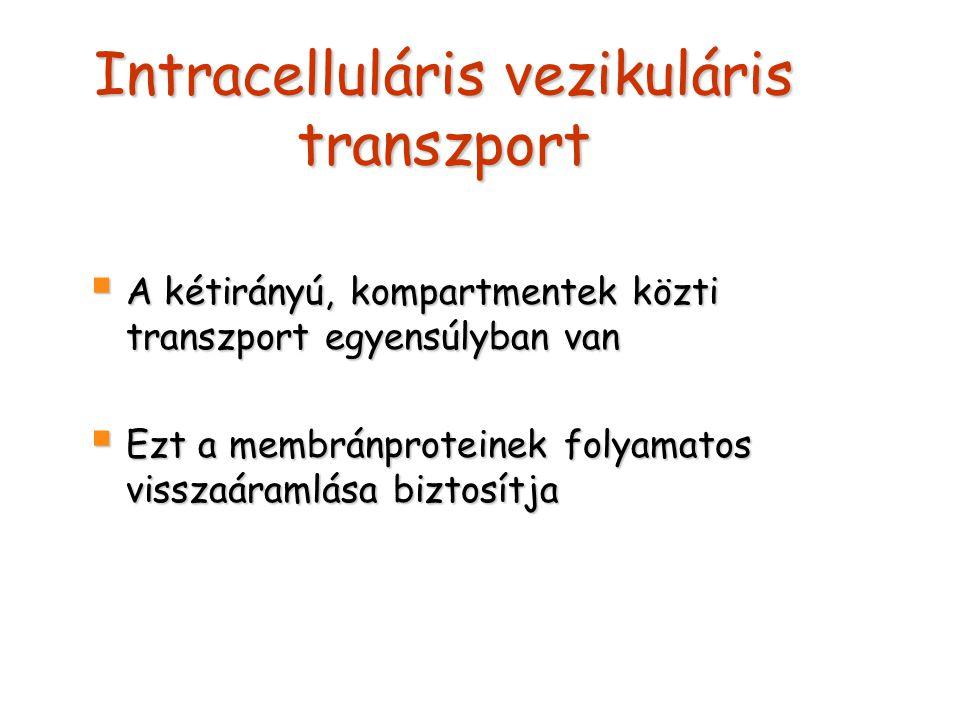 Intracelluláris vezikuláris transzport  A kétirányú, kompartmentek közti transzport egyensúlyban van  Ezt a membránproteinek folyamatos visszaáramlása biztosítja