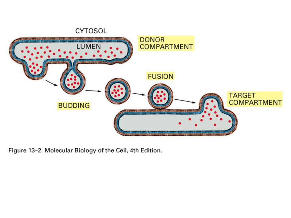 A vezikuláris transzport molekuláris alapjai  A bioszintetikus-szekréciós és az endocitotikus útvonalak 10 vagy több kompartment között teremtenek kapcsolatot  Megfelelő molekuláris egyezés (receptor/ligand) határozza meg a transzport irányát, a membránok fúzióját.