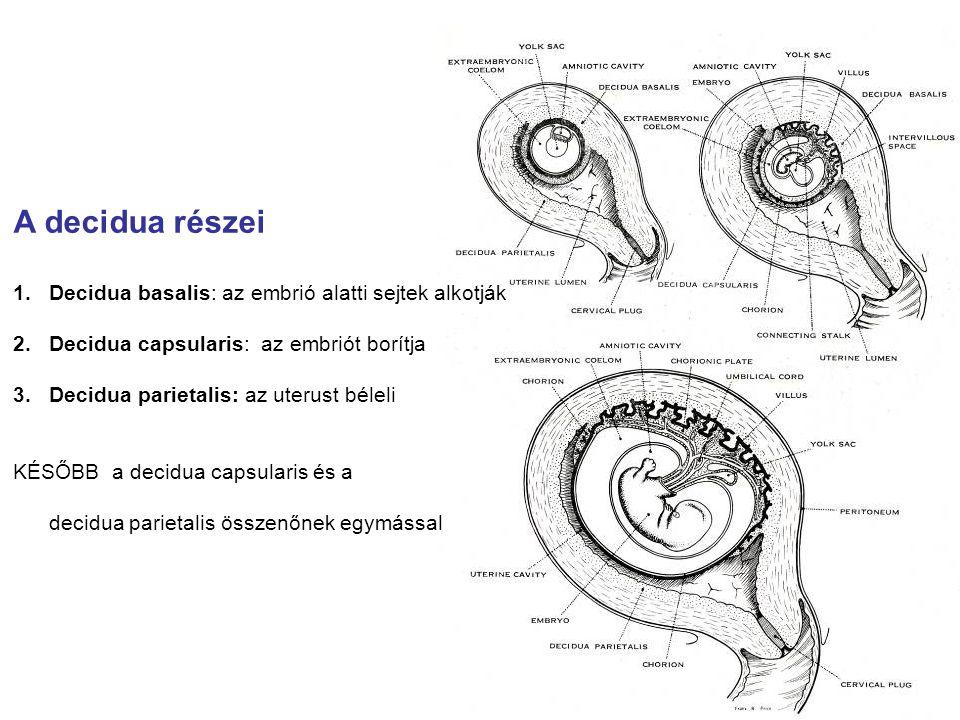 A decidua részei 1.Decidua basalis: az embrió alatti sejtek alkotják 2.Decidua capsularis: az embriót borítja 3.Decidua parietalis: az uterust béleli