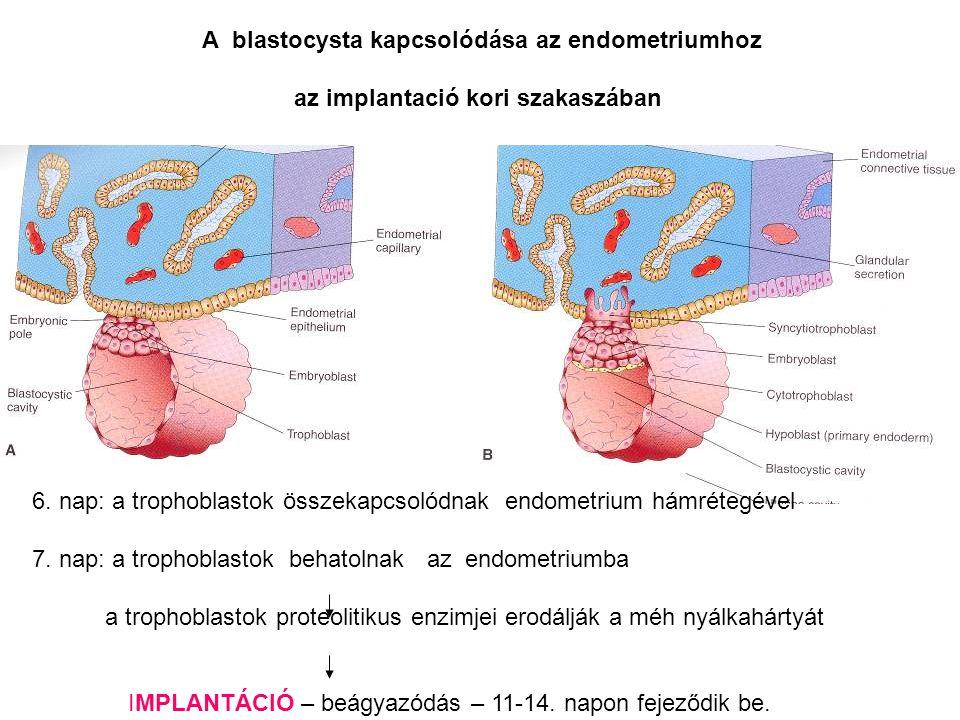 A blastocysta kapcsolódása az endometriumhoz az implantació kori szakaszában 6. nap: a trophoblastok összekapcsolódnak endometrium hámrétegével 7. nap