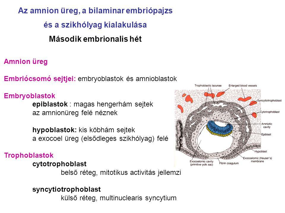 Az amnion üreg, a bilaminar embriópajzs és a szikhólyag kialakulása Második embrionalis hét Amnion üreg Embriócsomó sejtjei: embryoblastok és amniobla