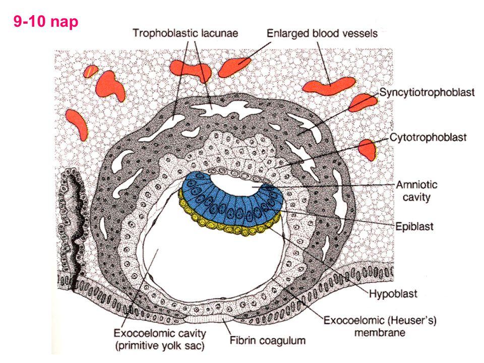 Az implantatio összefoglalása 1.A zona pellucida degenerálódik, blastocysta megnagyobbodik 2.