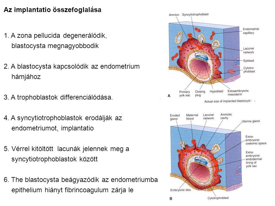 Az implantatio összefoglalása 1. A zona pellucida degenerálódik, blastocysta megnagyobbodik 2. A blastocysta kapcsolódik az endometrium hámjához 3. A