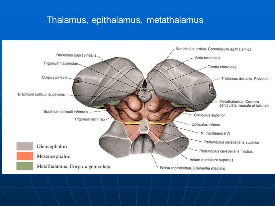 Thalamus, epithalamus, metathalamus