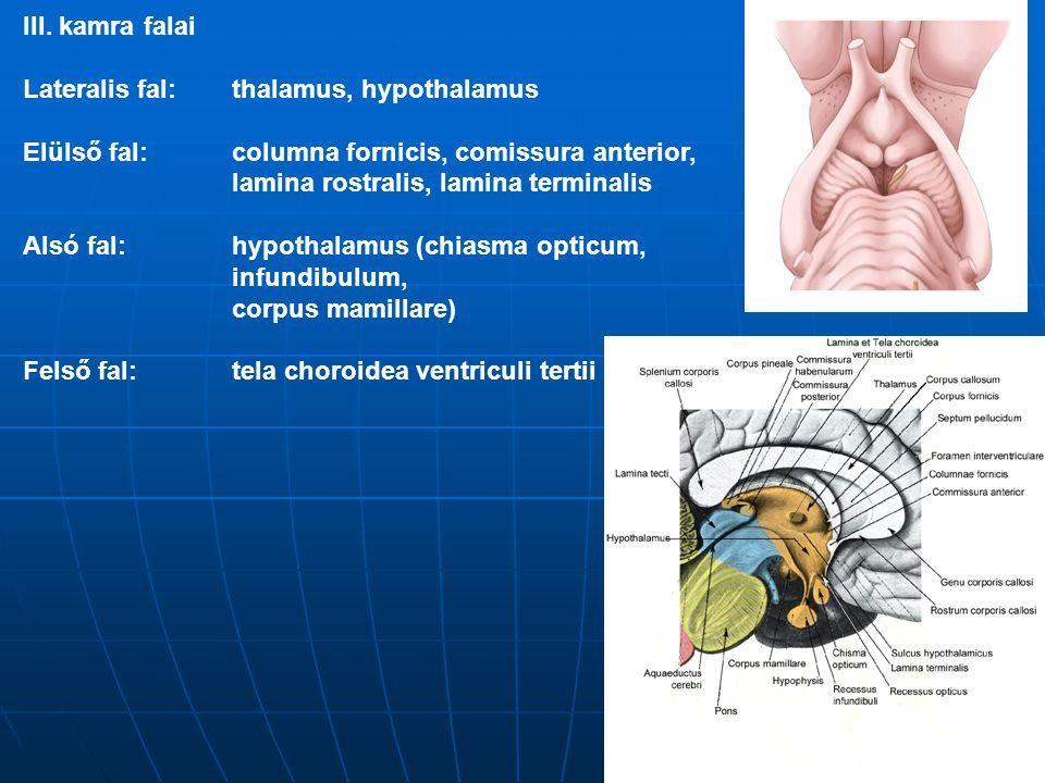 III. kamra falai Lateralis fal: thalamus, hypothalamus Elülső fal:columna fornicis, comissura anterior, lamina rostralis, lamina terminalis Alsó fal:h