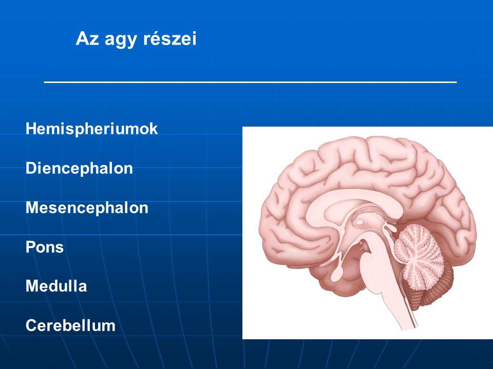 Az agy részei Hemispheriumok Diencephalon Mesencephalon Pons Medulla Cerebellum