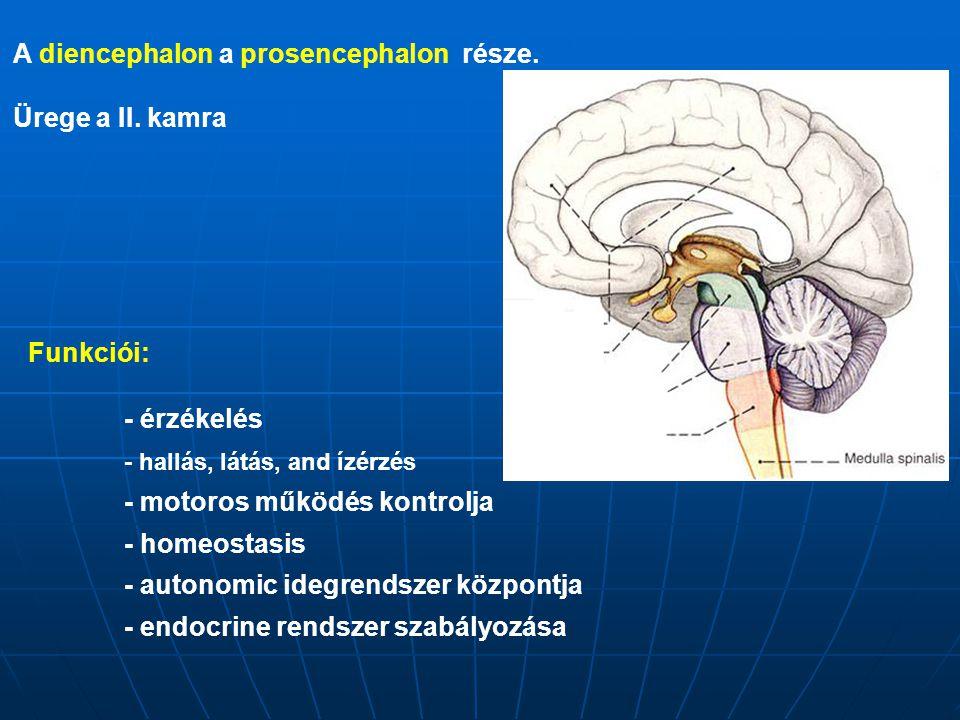 A diencephalon a prosencephalon része. Ürege a II. kamra Funkciói: - érzékelés - hallás, látás, and ízérzés - motoros működés kontrolja - homeostasis