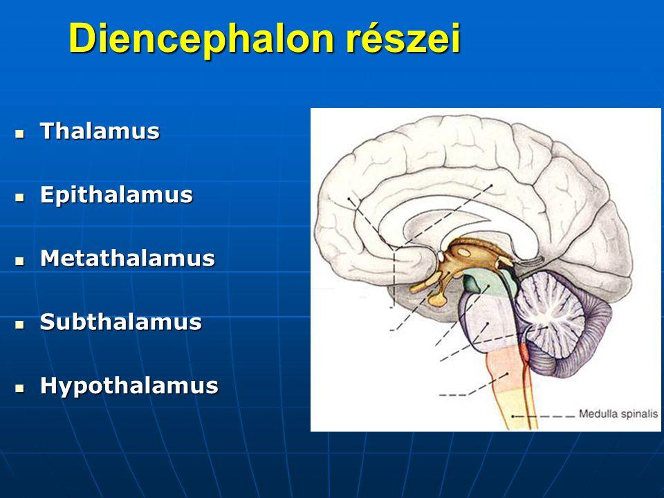 Thalamus Thalamus Epithalamus Epithalamus Metathalamus Metathalamus Subthalamus Subthalamus Hypothalamus Hypothalamus Diencephalon részei