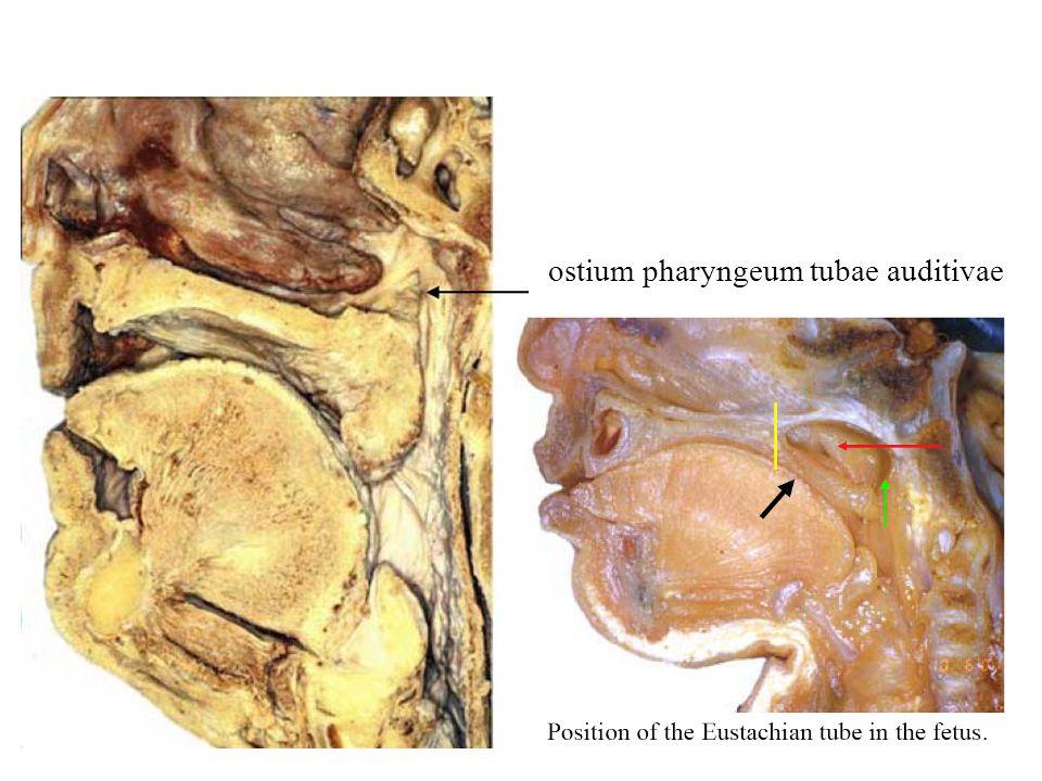 ostium pharyngeum tubae auditivae
