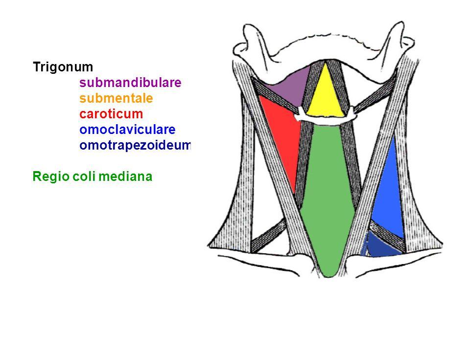 Trigonum submandibulare submentale caroticum omoclaviculare omotrapezoideum Regio coli mediana