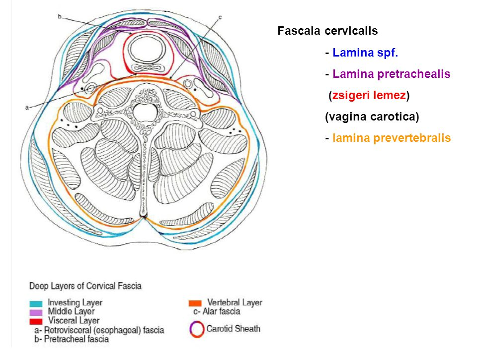 Fascaia cervicalis - Lamina spf. - Lamina pretrachealis (zsigeri lemez) (vagina carotica) - lamina prevertebralis