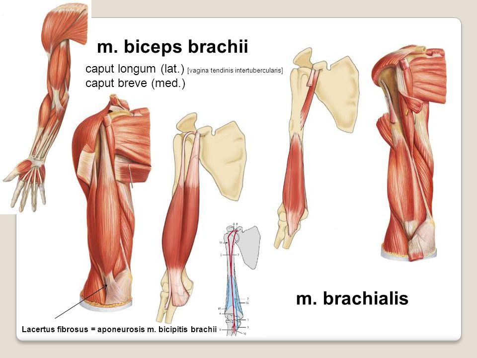 m. biceps brachii m. brachialis caput longum (lat.) [vagina tendinis intertubercularis] caput breve (med.) Lacertus fibrosus = aponeurosis m. bicipiti