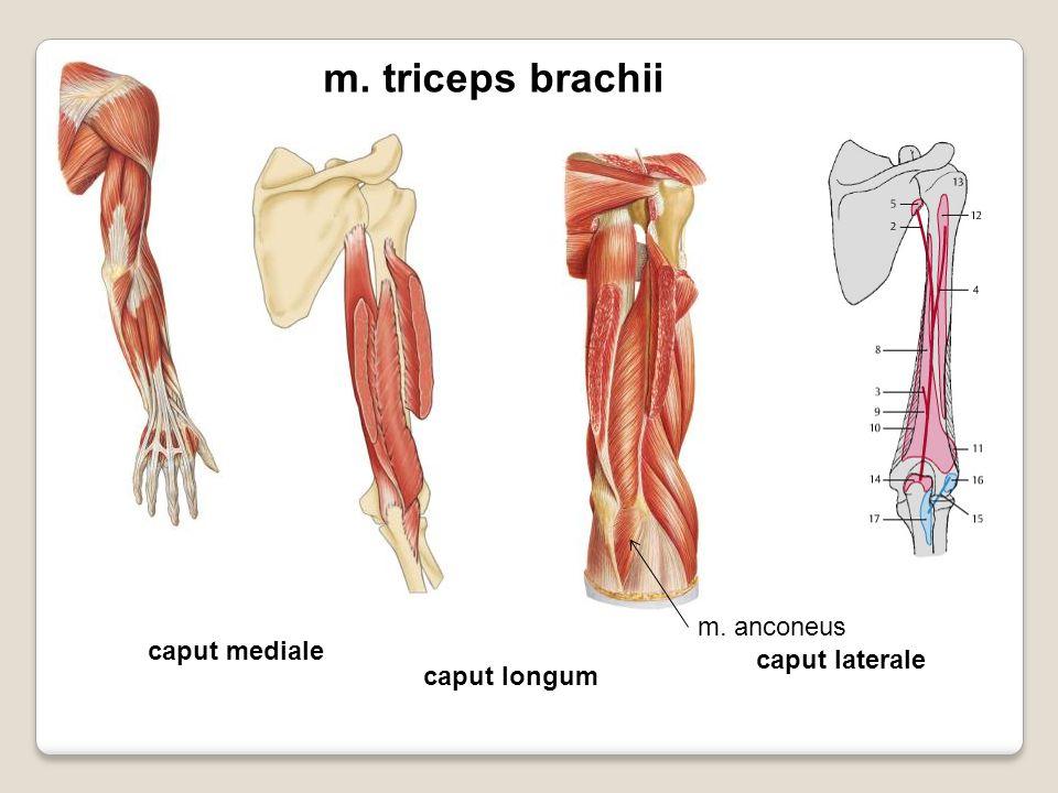 m. triceps brachii caput mediale caput laterale caput longum m. anconeus