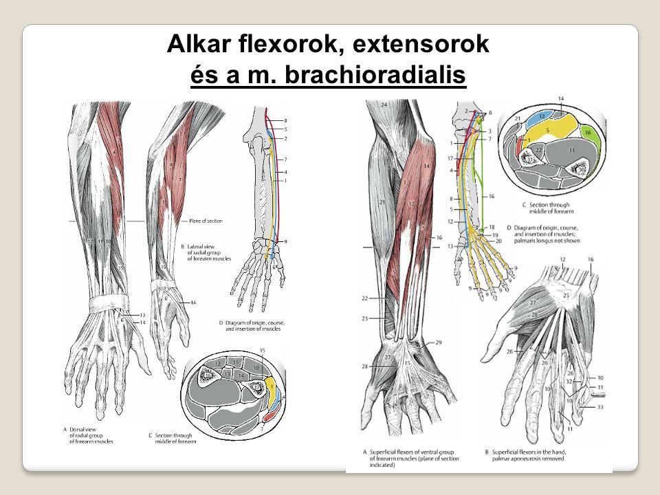 Alkar flexorok, extensorok és a m. brachioradialis
