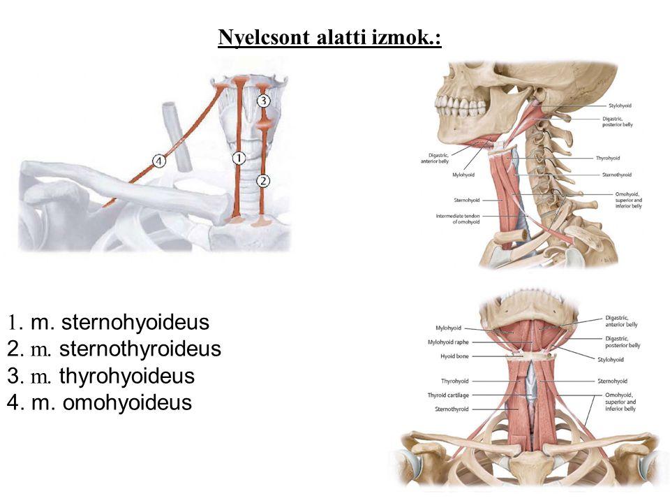 Nyelcsont alatti izmok.: 1. m. sternohyoideus 2. m. sternothyroideus 3. m. thyrohyoideus 4. m. omohyoideus
