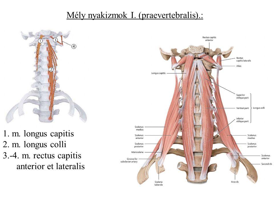 Mély nyakizmok I. (praevertebralis).: 1. m. longus capitis 2. m. longus colli 3.-4. m. rectus capitis anterior et lateralis