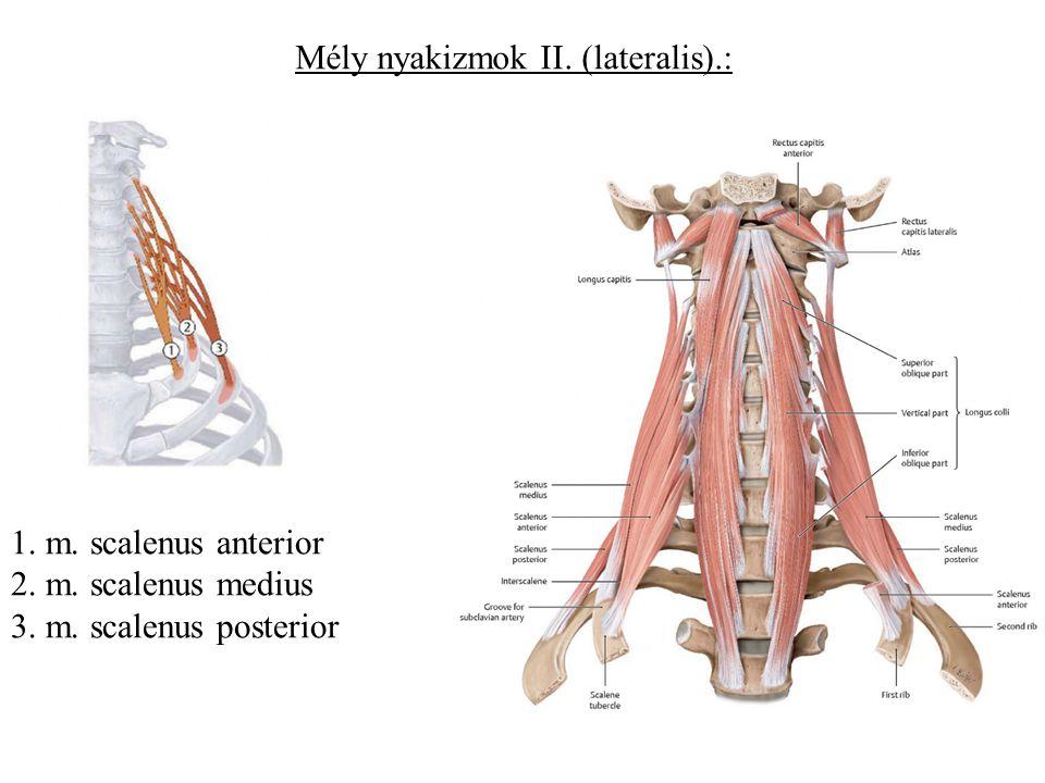 Mély nyakizmok II. (lateralis).: 1. m. scalenus anterior 2. m. scalenus medius 3. m. scalenus posterior