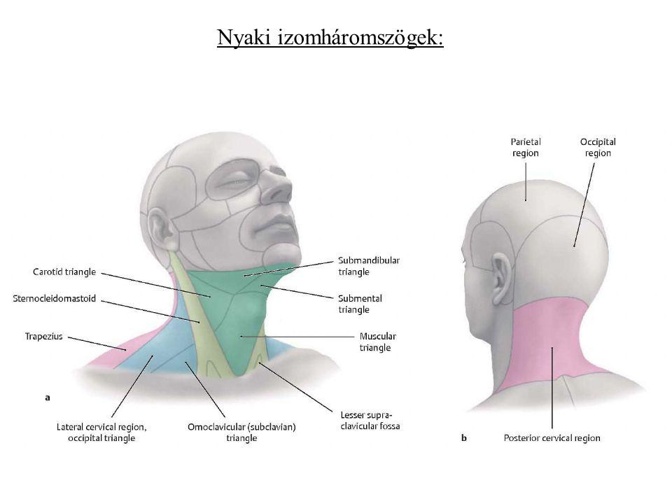 Nyaki izomháromszögek: