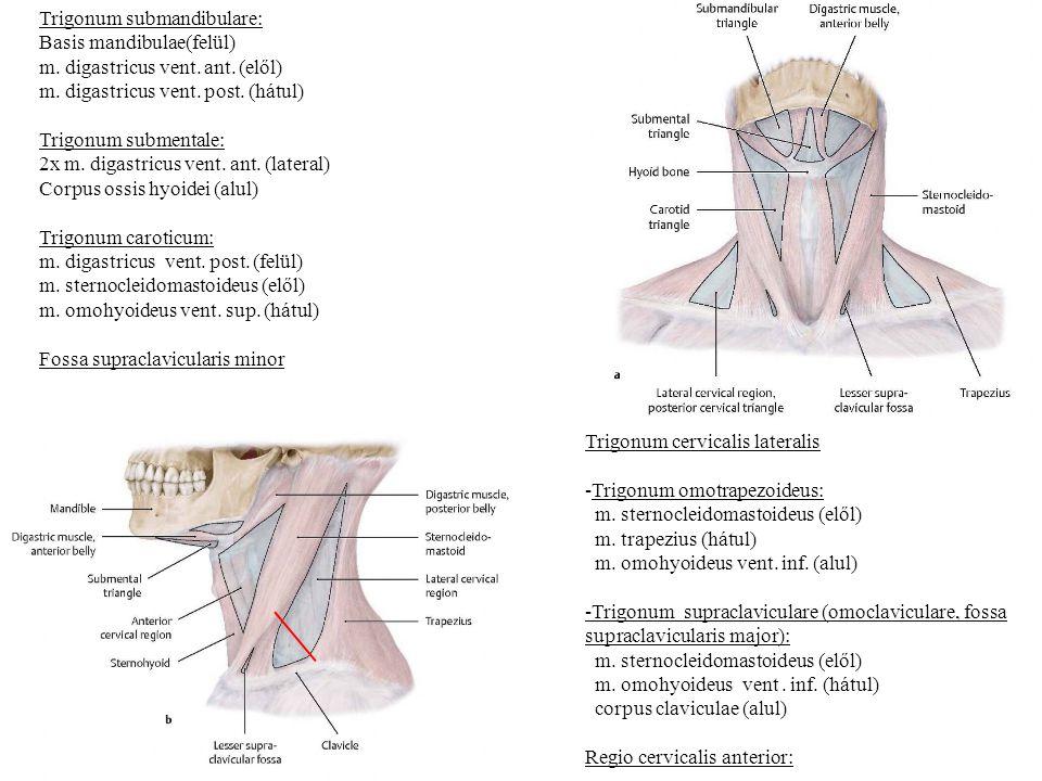 Trigonum submandibulare: Basis mandibulae(felül) m. digastricus vent. ant. (elől) m. digastricus vent. post. (hátul) Trigonum submentale: 2x m. digast
